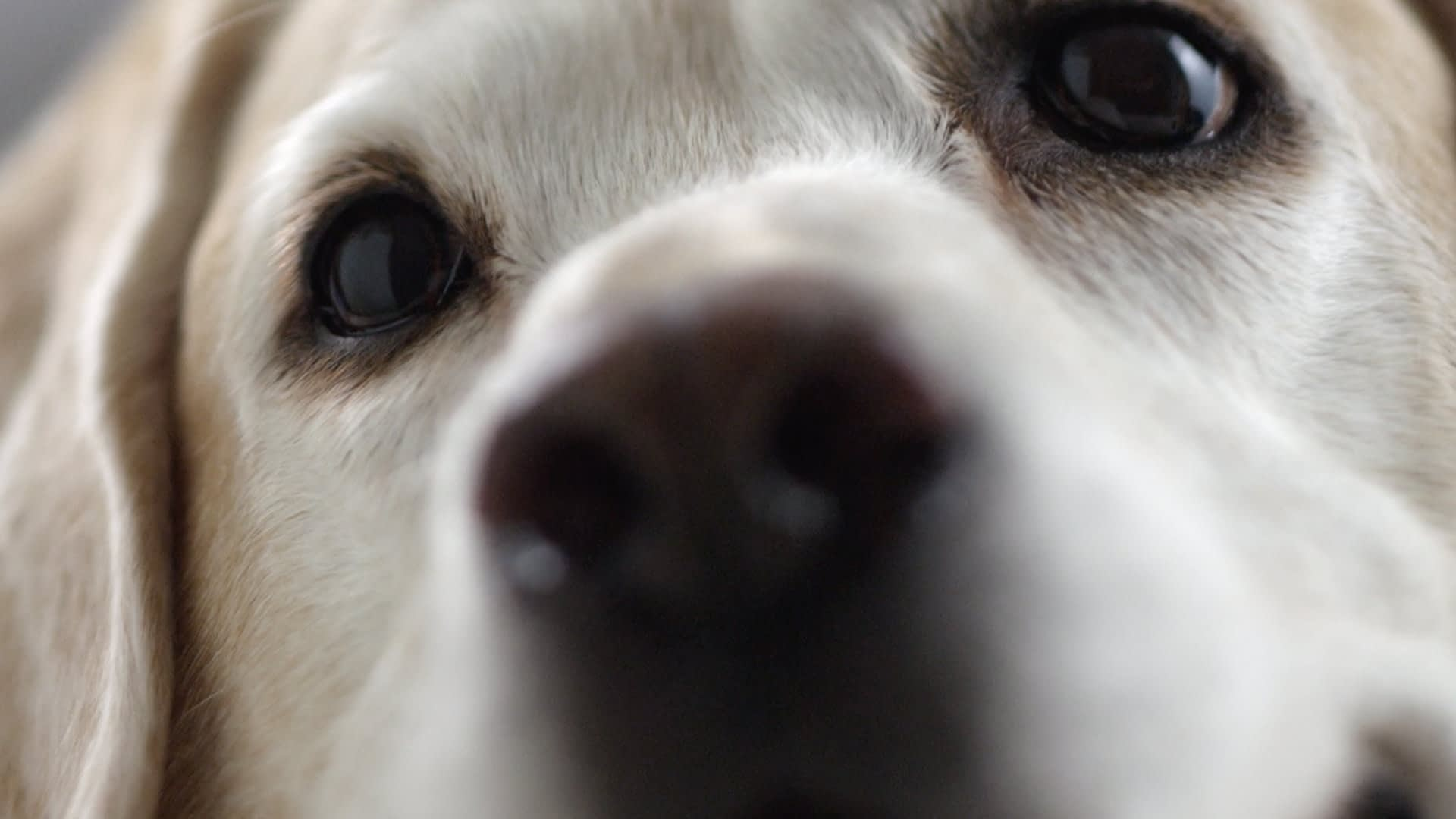 A very close up shot of a golden reteriever's snout and eyes.